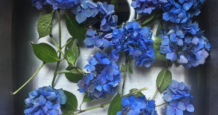 4 tips to make your hydrangeas last longer